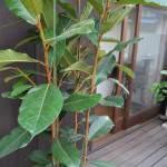 植物,フィカス(ゴムの木),緑