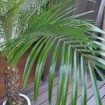 植物,フェニックスロベレニー,和泉市